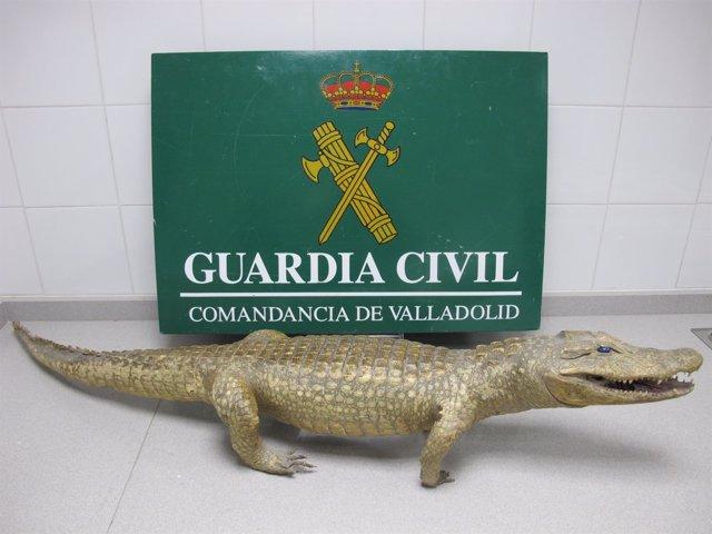 Ejemplar de caimán disecado intervenido por la Benemérita.