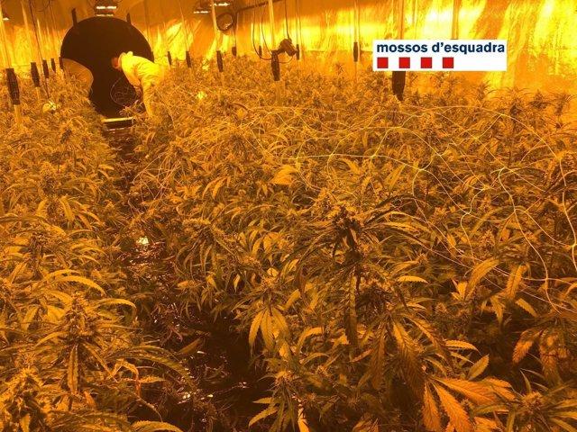 Plantación de marihuana en una nave de Vilassar de Dalt