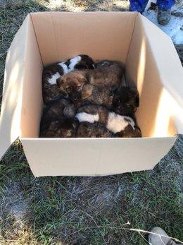 Cachorros abandonados en una caja de cartón.