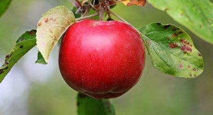 Nueva vía para lograr aperitivos de manzana enriquecidos con probióticos