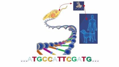 Completan la secuenciación del genoma del parásito que causa la leishmaniasis