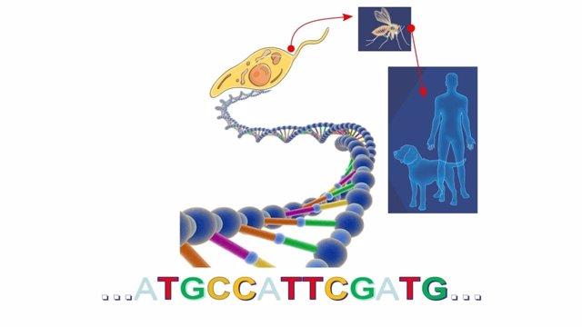 Uam. Completan El Genoma Del Parásito Que Causa La Forma Más Grave De Leishmania