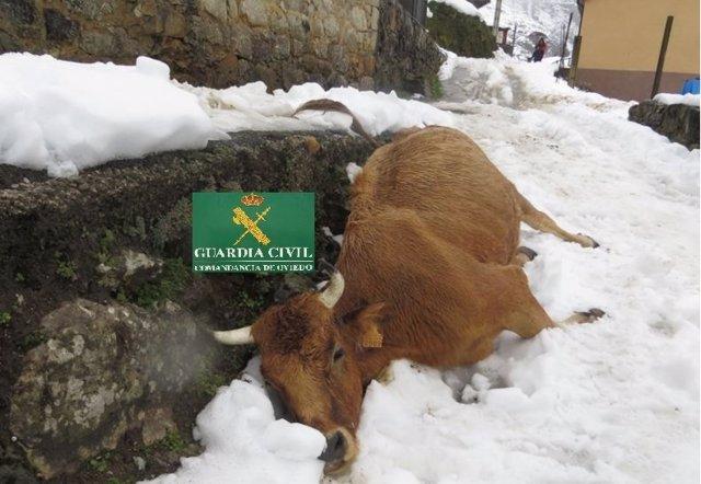 Vaca muerta en Teverga