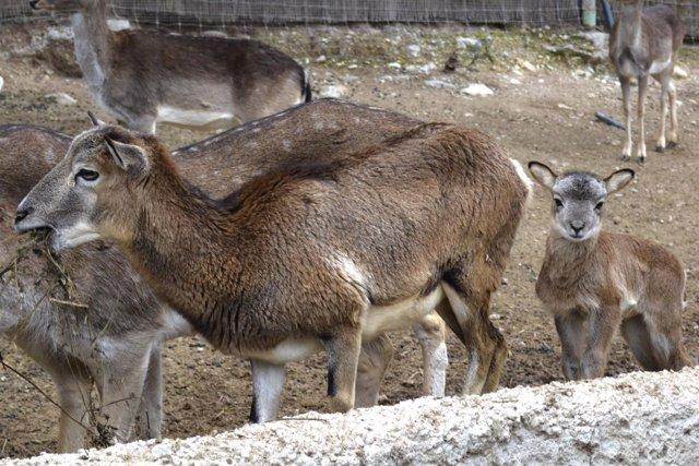 Moflones con sus crías