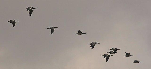 Gansos en migración