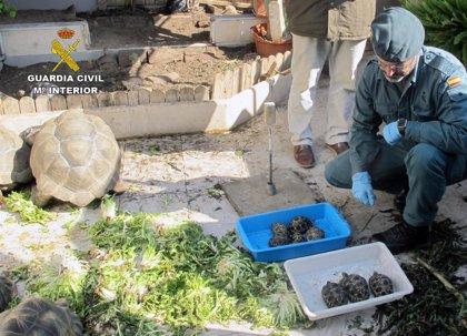 Desmantelan un criadero ilegal de tortugas con cerca de un centenar de especímenes de 5 especies protegidas