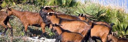 Assaib recurrirá el sobreseimiento de la causa por la matanza de cabras en Es Vedrà (Ibiza)