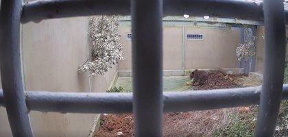 Fiscalía archiva el caso del osezno, que volverá a Liébana