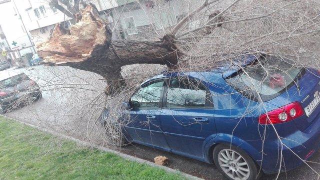 Árbol Caído Sobre La Avenida De Arjona