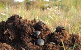 Un grupo de escarabajo sobre excrementos