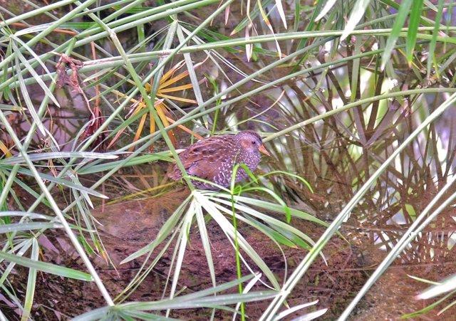Polluela Pintoja ave silvestre recuperada en bioparc medio ambiente
