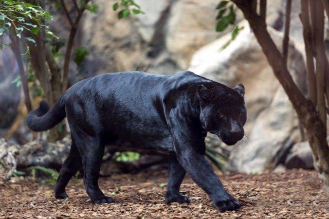 Jaguar en Loro Parque