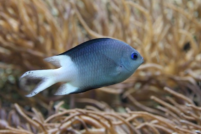 Acanthochromis polyacanthus, especie objeto de este estudio