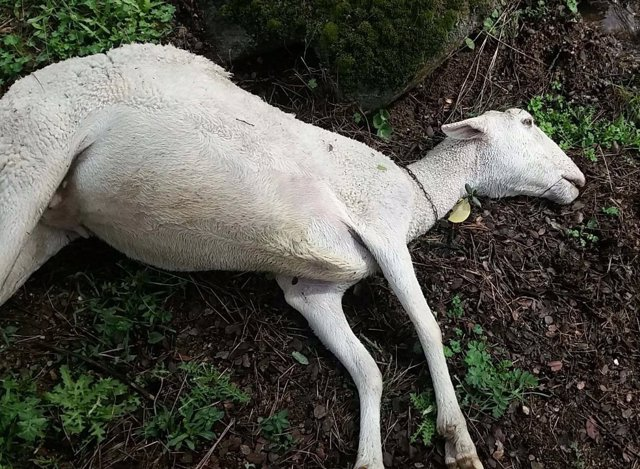 La lluvia ha provocado muerte de ovejas