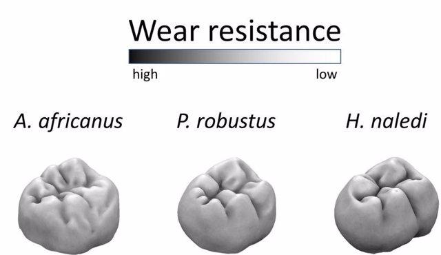Comparativa de molares
