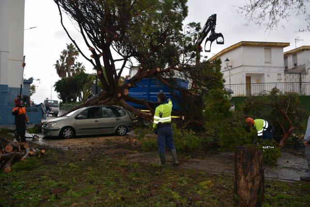 Pino caído por el temporal en San Roque