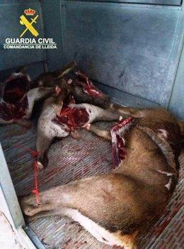 Ciervos abatidos en Peramola (Lleida) fuera de temporada