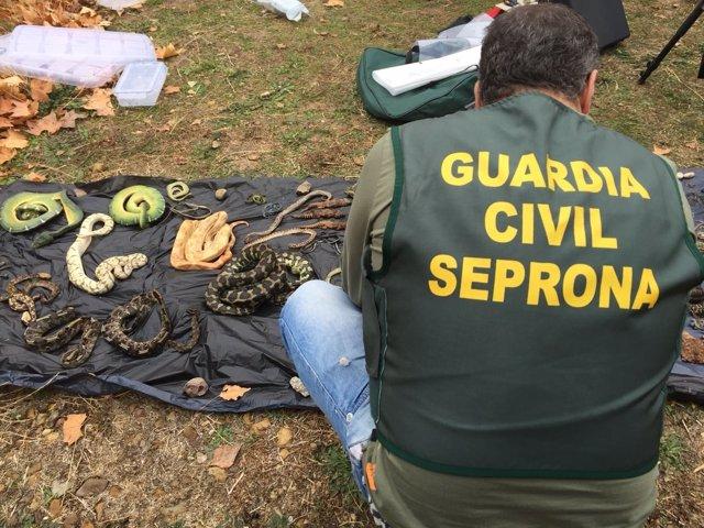 Operación Jungla V del Seprona intercepta más de 600 reptiles