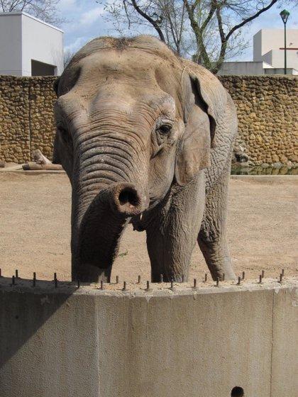 Pacma pide al Ayuntamiento de Córdoba un informe sobre el estado de salud de la elefanta Flavia