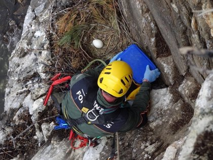 Agentes forestales rescatan dos huevos de buitre leonado por la subida del nivel del agua del embalse de Puentes Viejas