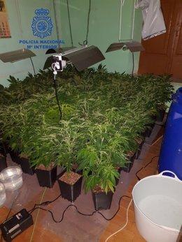Plantación de marihuana desmantelada.