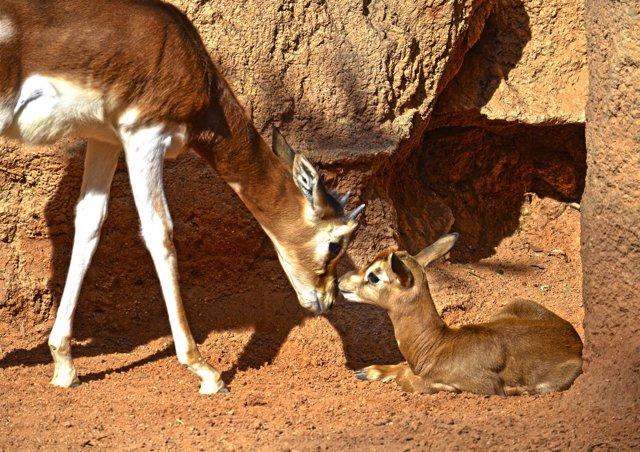 Nace una gacela Mhorr en Bioparc