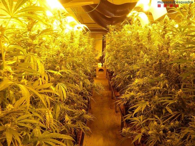 Plantació de Marihuana a l'Hospitalet de Llobregat