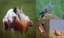 Investigadores demuestran que las aves de campos de cultivo también se extinguen