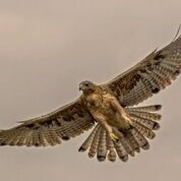 Águila Bonelli