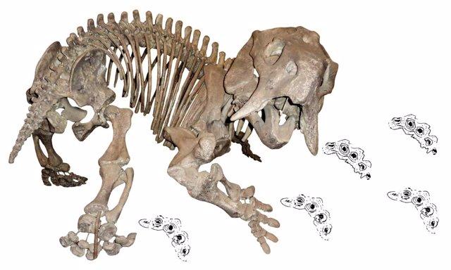 Esqueleto de dicinodonte