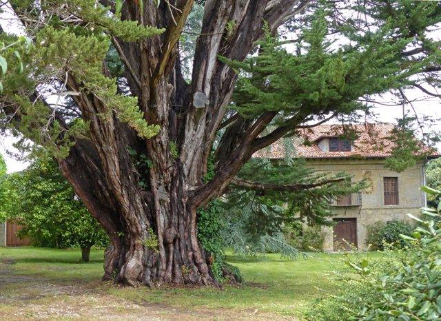 Ciprés,árbol