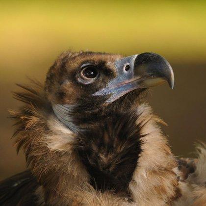 Junta convoca ayudas para paliar los daños producidos por aves necrófagas al ganado doméstico