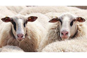 Una misteriosa bestia ataca un grupo de ovejas dejándolas sin sangre tras clavar sus colmillos en la yugular, en México