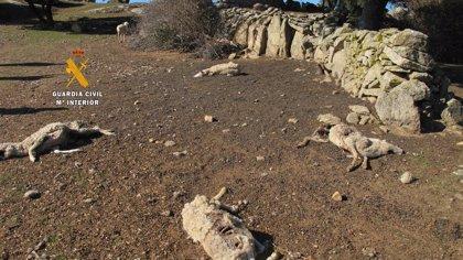 Investigado un ganadero por dejar morir de hambre a 131 ovejas