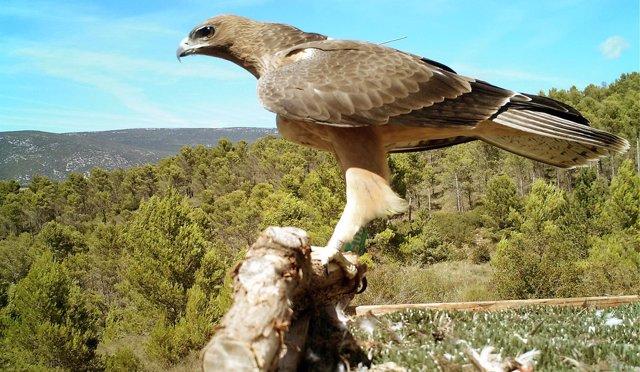 Ejemplar del águila de Bonelli