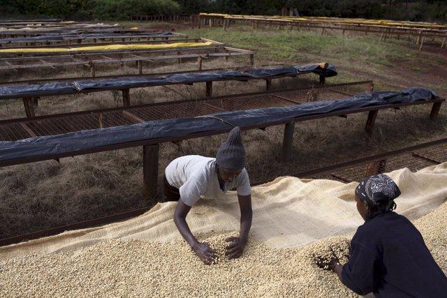 Foto de archivo de mujeres en Kenia cultivando café