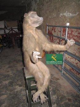 Mono Papio disecado