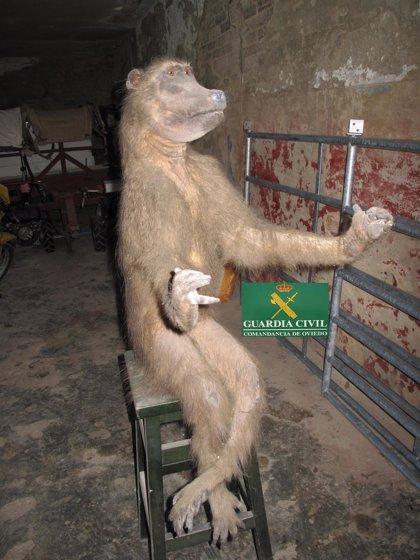 La Guardia Civil intercepta una venta por Internet de una tortuga carey y un primate desnaturalizados