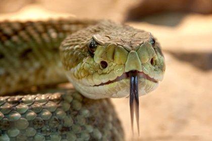 Parte de una proteína del veneno de la serpiente de cascabel puede ayudar a diseñar antibióticos