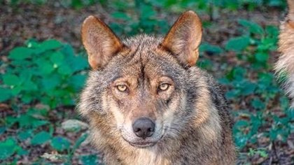 Equo quiere que el Gobierno responda con medidas a las personas que se manifestaron en Madrid en defensa del lobo