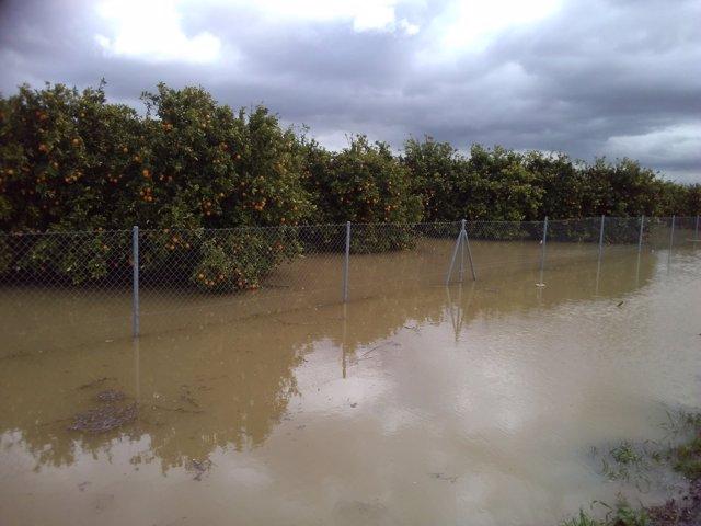 Plantación de naranjos inundados en la provincia de Cádiz