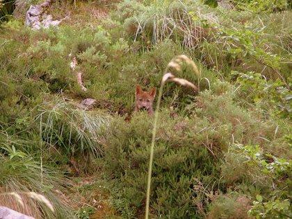 Artemisán propone ampliar la gestión poblacional del lobo como especie cinegética también al sur del Duero