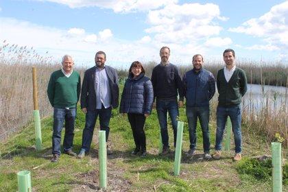 Plantan 6.800 plantas de ribera en S'Albufera, mediante un proyecto financiado por el impuesto turístico