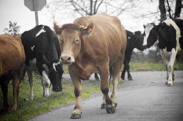 Vacas caminando por la carretera