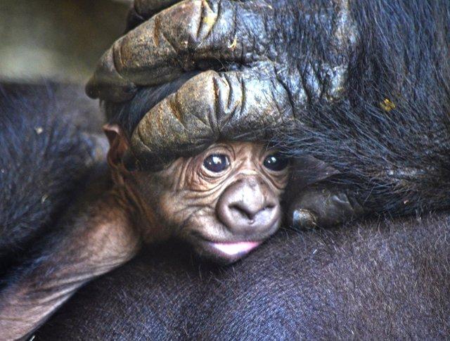 Bebé gorila primer plano -