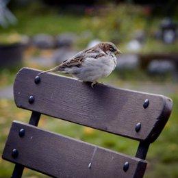 Gorrión sobre un banco en un parque