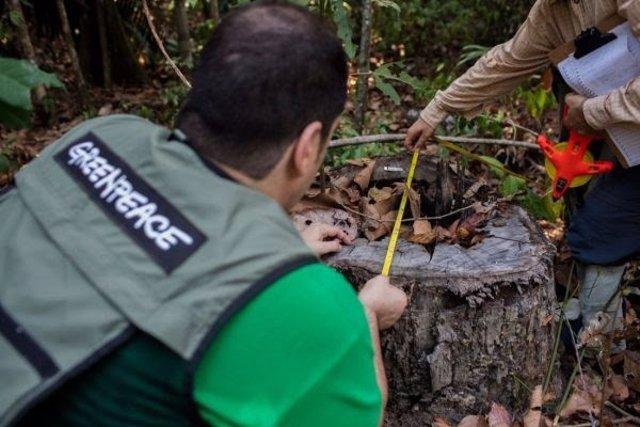 Trabajadores de Greenpeace analizando un árbol de madera de Ipe