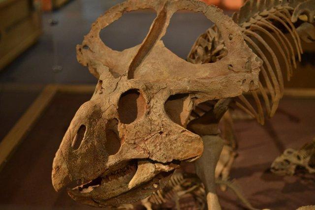 Cráneo de Protoceratops