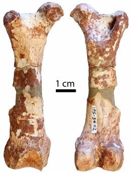 Fémur de pangolín