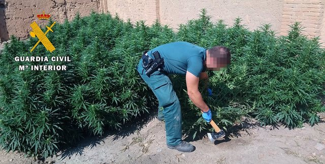 Plantas de marihuana intervenidas por la Benemérita.22-03-18